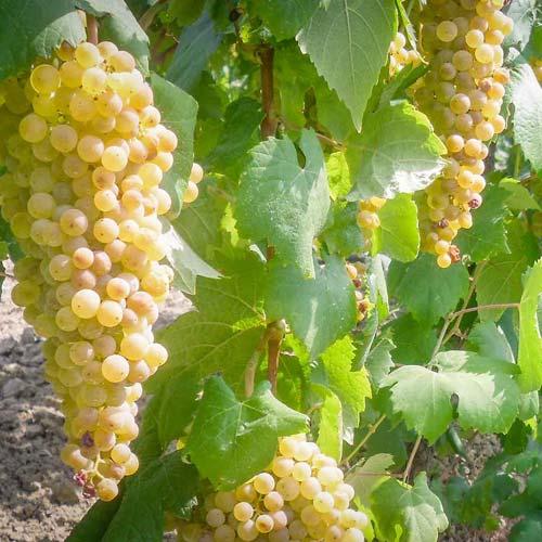 vigneto-mordini-uva-bianca