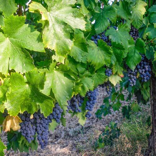 vigneto-mordini-uva-rossa